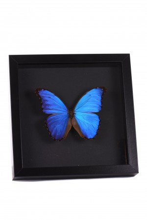 Opgezette blauwe morpho didius vlinder in lijst