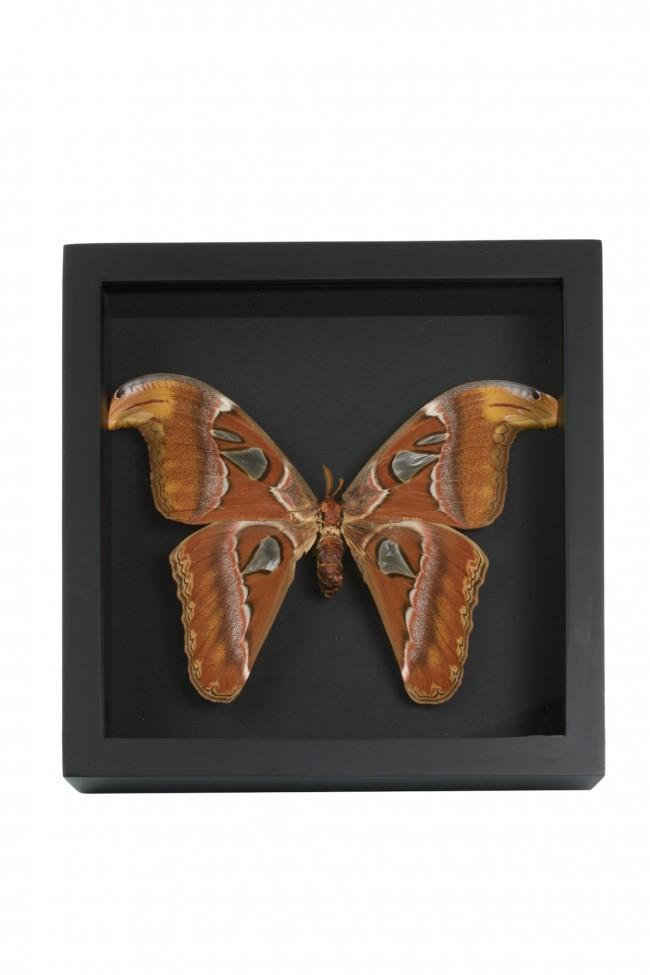 Opgezette Attacus Atlas Vlinder