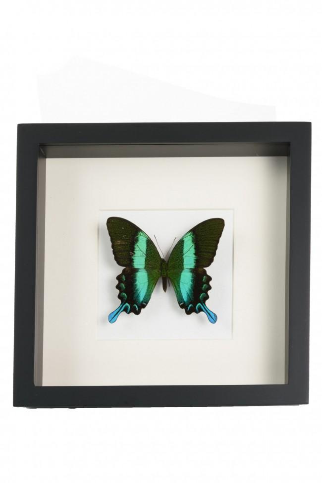 Opgezette Papilio Blumei vlinder