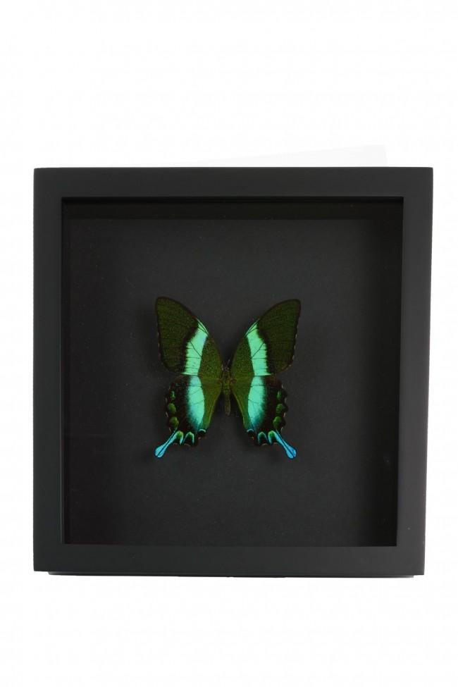 Opgezette Papilio Blumei