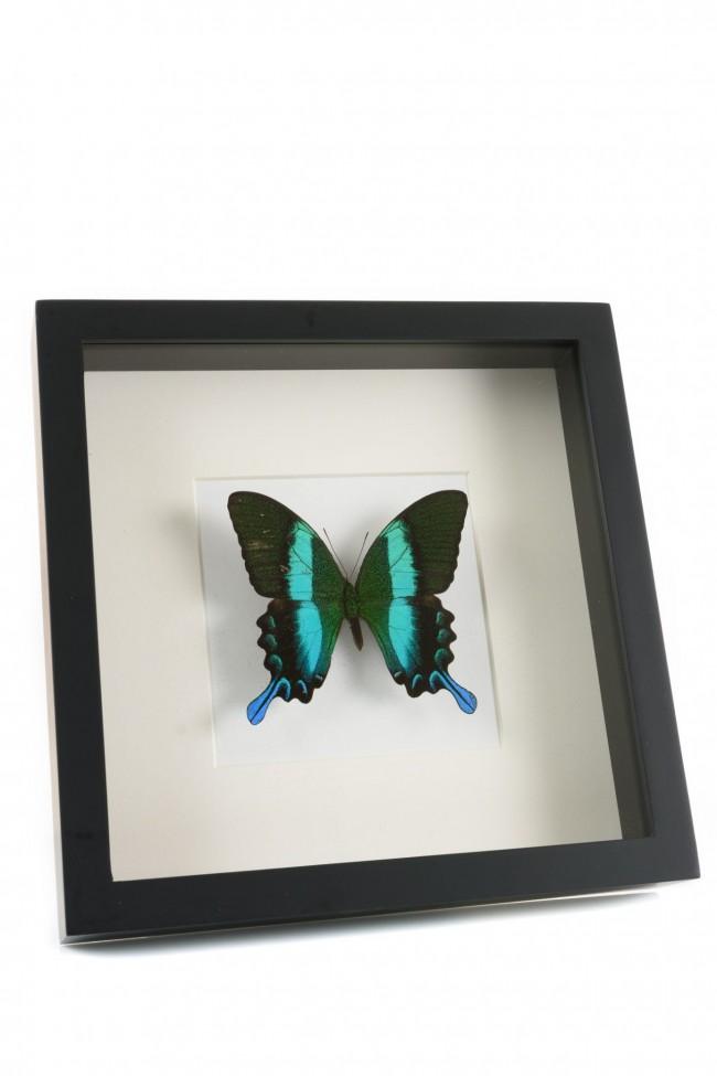 Opgezette groene vlinder