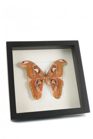 Opgezette grote bruine vlinder