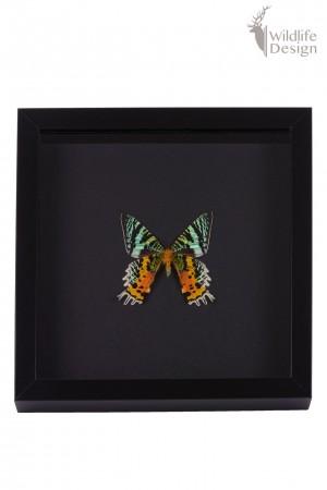 ingelijste vlinder opgezet
