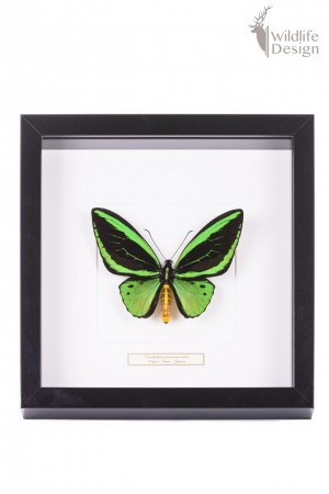 opgezette groene vlinder in lijst