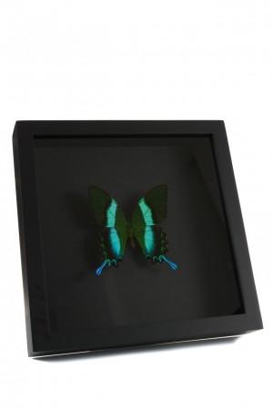 opgezette groene vlinder zwart