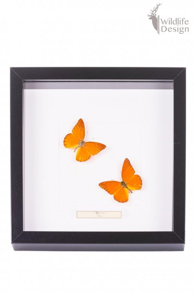 opgezette oranje vlinders in lijst