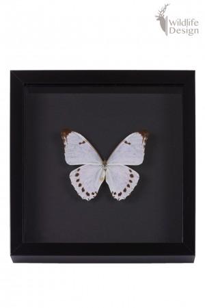opgezette witte vlinder in lijst Morpo Luna op zwarte achtergrond